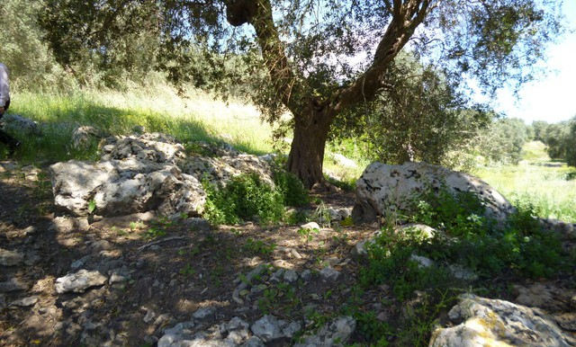 a particular olive tree