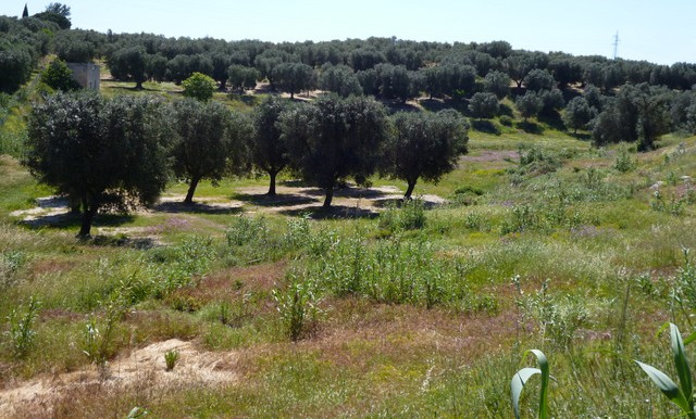 a view of the olive grove