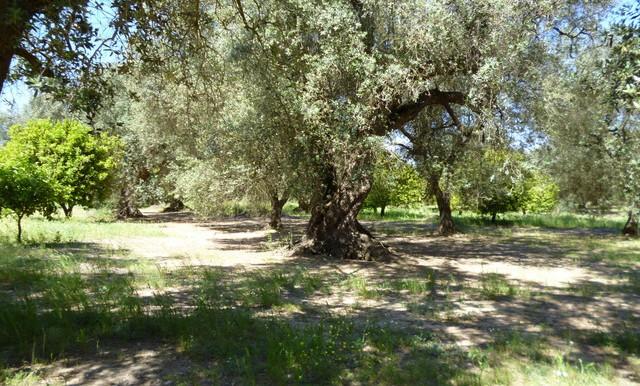 lovely olive grove