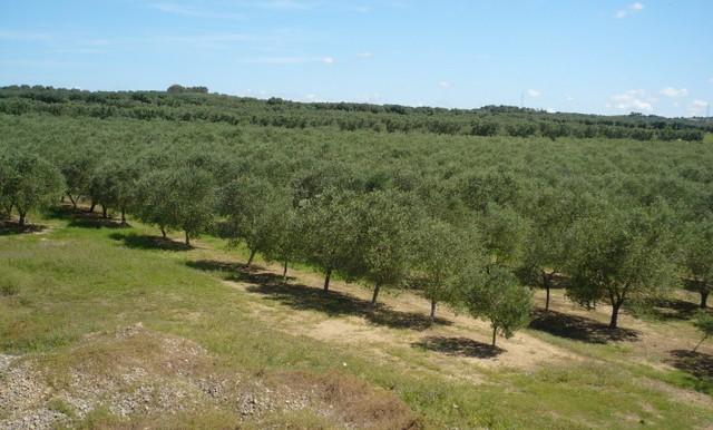 olive trees z