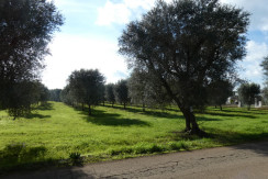 Terreno uliveto in vendita a Francavilla Fontana